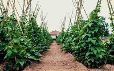 Bean Growing Guide