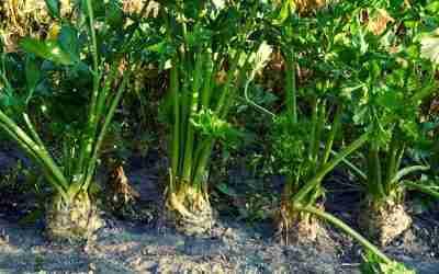 Celery Growing Guide