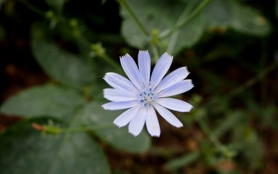 Chicory Growing Guide