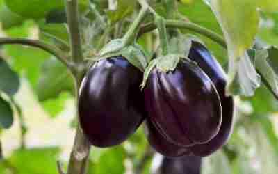 Eggplant Growing Guide