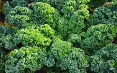 Kale Growing Guide