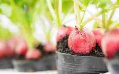 Radish Growing Guide